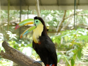 Rescued Swainson Toucan