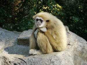 This little gibbon in Chiang Mai, Thailand looks like he might be suffering from depression and burnout