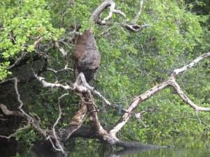 Termite nest in the Belizean  jungle.