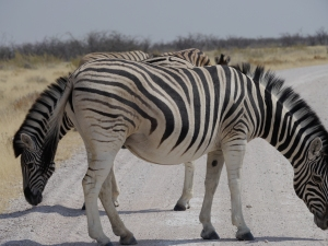 Who knew you could see two-headed zebra in Namibia?!