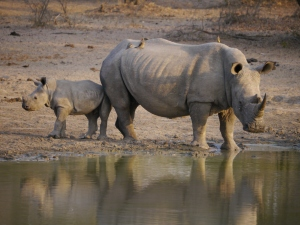 Any guesses on whether this mum and baby are white rhinos or black rhinos?
