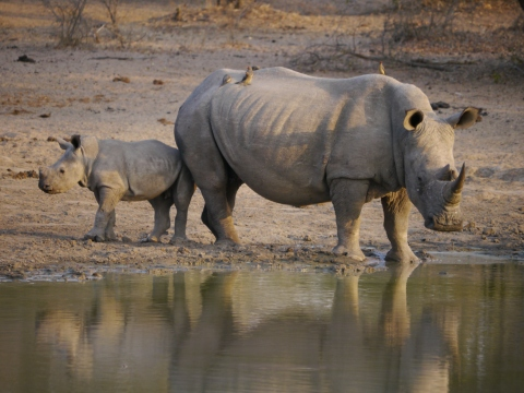 White rhino baby and mum Namibia Johanna Read TravelEater.net
