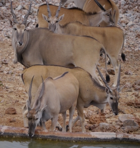 Eland at the waterhole ...