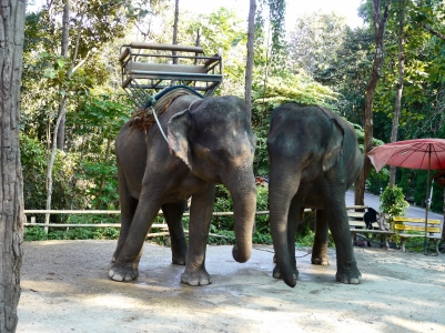 These elephants were clearly distressed, swaying repetively. Photo (small) by Johanna Read TravelEater.net