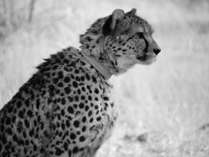 africat-cheetah-low-res-photo-by-johanna-read-traveleater-net
