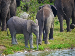 A juvenile elephant with family at the edge of the Kazinga Channel, Uganda