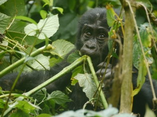 A baby gorilla eating